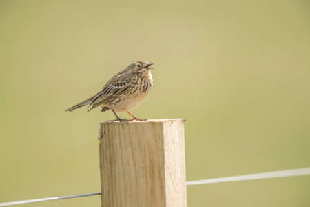 tweeting: Meadow pipit perched on a fence post, tweeting