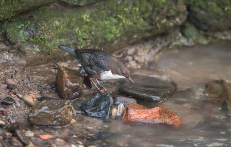 dipper: Dipper perched on a rock in a stream Stock Photo