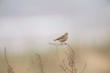 dry grass: Meadow pipit perched on a piece of dry grass