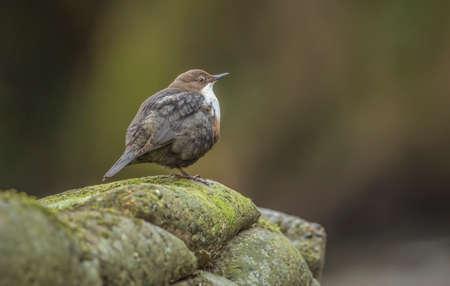 dipper: Dipper, perched on a rock