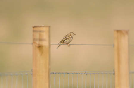 fence wire: Meadow pipit perched on a fence wire Stock Photo