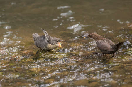 dipper: Dipper in a stream feeding its baby Stock Photo