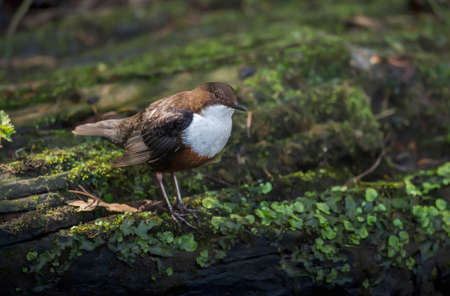 dipper: Dipper on a plant covered rock