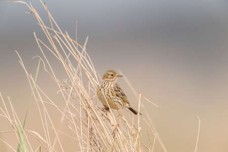 dry grass: Meadow pipit perched in some dry grass