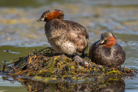 tweeting: Little grebe, Tachybaptus ruficollis, adults on the nest with a juvenile, close up