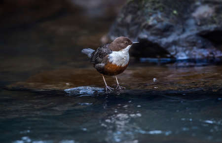 the ornithology: Dipper on a rock in a river