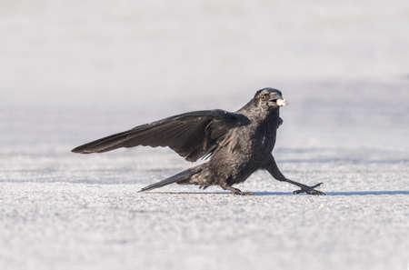corvus: Crow, Corvus corone, on the ice during the Winter