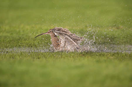 shorebird: Curlew, washing itself in a puddle