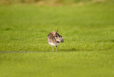 shorebird: Curlew, standing on the grass