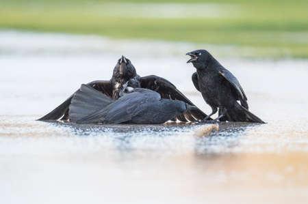corvus: Crows, Corvus corone, fighting on the ice