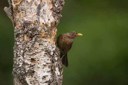 turdus: Blackbird, Turdus merula, perched on a tree trunk