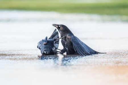 cuervo: Cuervos, Corvus corone, la lucha contra el hielo