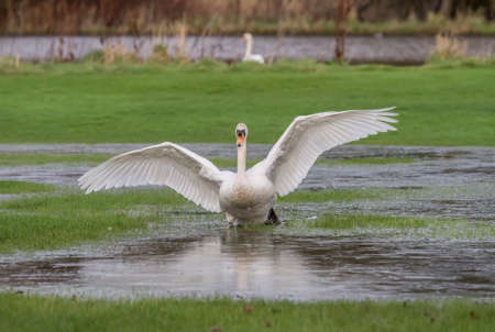 cygnus olor: Mute swan, Cygnus olor, landing in a puddle of water Stock Photo