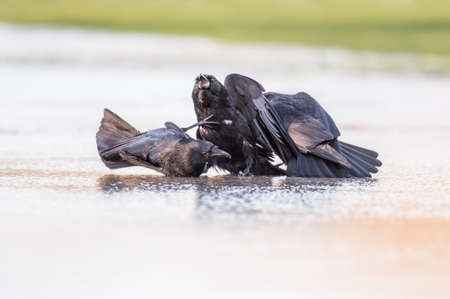 corvus: Crows, Corvus corone, fighting on ice Stock Photo
