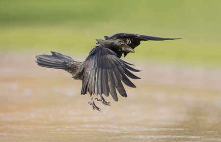 corvus: Crow, Corvus corone, flying from the ice