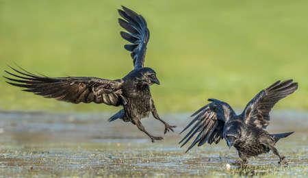 Crows, Corvus corone, on frosty ground Stock Photo