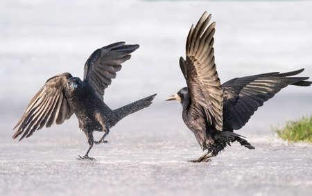 skidding: Crows, Corvus corone, on ice
