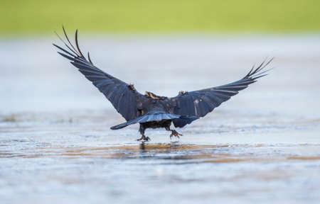 corvus: Crow, Corvus corone, landing on ice