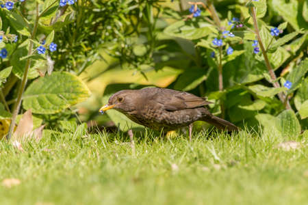 turdus: Blackbird, Turdus merula, female, on the grass