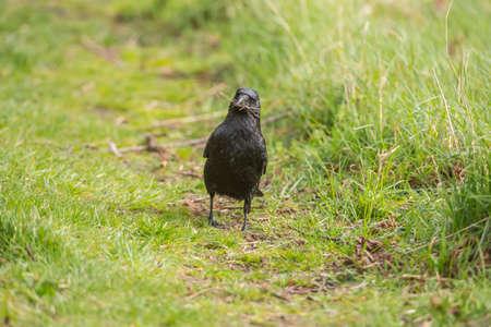 corvus: Crow, Corvus corone, gathering material for nest building
