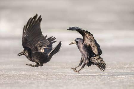 corvus: Crows, Corvus corone, landing on the ice