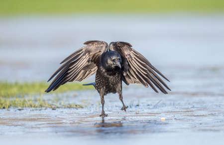 skidding: Crow, Corvus corone, landing on ice