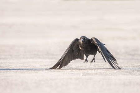 corvus: Crow, Corvus corone,  flying over ice Stock Photo