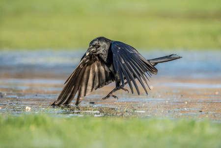 corvus: Crow, Corvus corone, landing on frosty ground