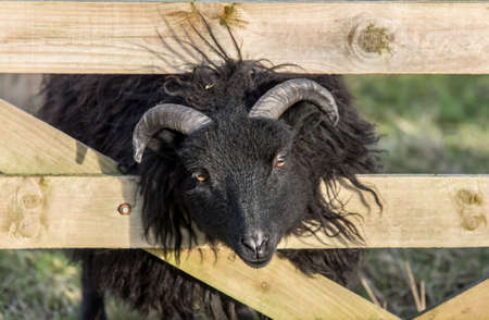 oveja negra: Black sheep with its head pushed through a wooden gate