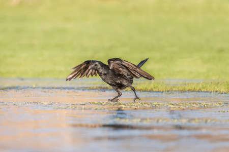 corvus: Crow, Corvus corone, on the ice