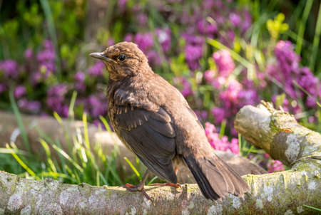 turdus: Blackbird, Turdus merula, female, perched on a branch