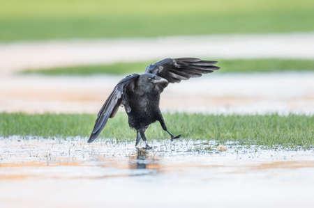 skidding: Crow, Corvus corone, on the ice