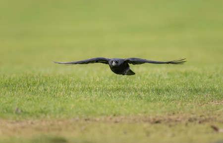 corvus: Crow, Corvus corone, flying over grass