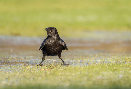 carrion: Crow, Corvus corone, on frosty ground