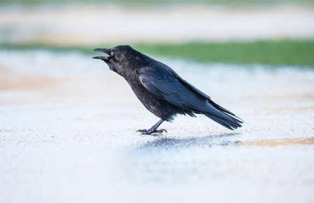 corvus: Crow, Corvus corone, on the iceCrow, Corvus corone, on the ice, squawking