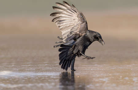 Crow, Corvus corone, landing on the ice