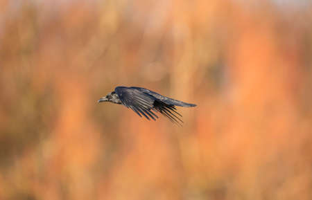 scavenging: Crow, Corvus corone, flying in front of some trees