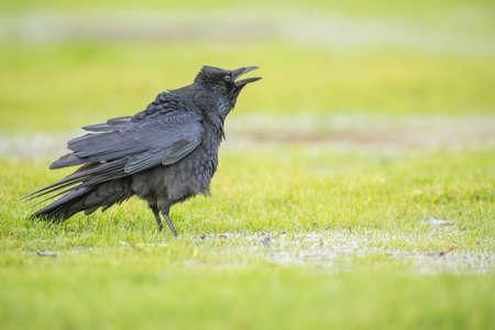 corvus: Crow, Corvus corone, on the frozen grass, squawking