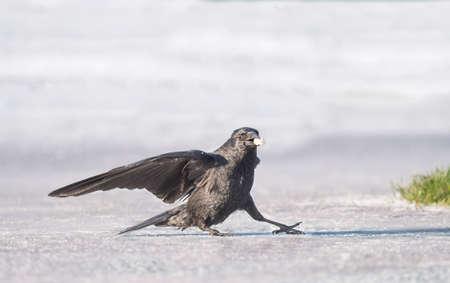skidding: Crow, Corvus corone, on ice
