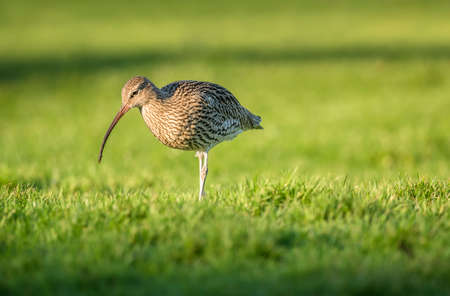 grass close up: Curlew, standing on the grass, close up Stock Photo