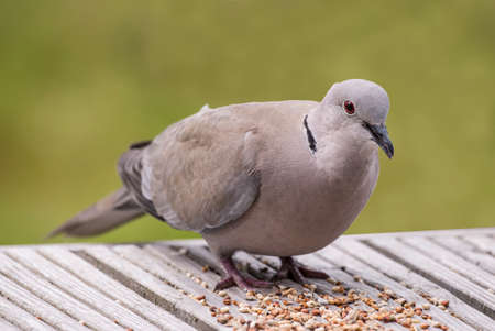 decking: Collared Dove, Streptopelia decaocto, perched on decking