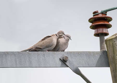 electricity pylon: Collared Doves, Streptopelia decaocto, perched on an electricity pylon