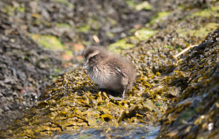 the ornithology: Eider duck, juvenile, sitting on a seaweed covered rock Stock Photo