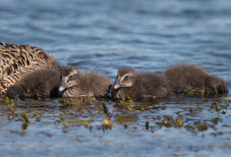 juveniles: Eider duck, juveniles, swimming in the sea