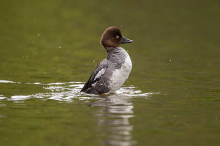 displaying: Goldeneye duck, female, displaying in a pond