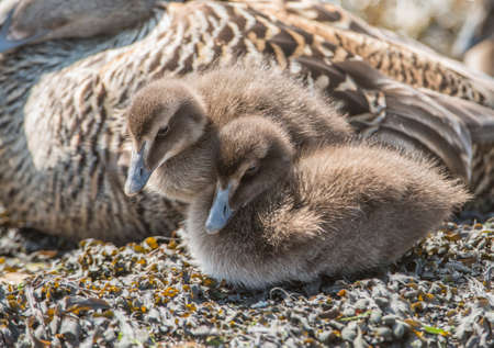 juveniles: Eider duck, juveniles, on a seaweed covered rock,