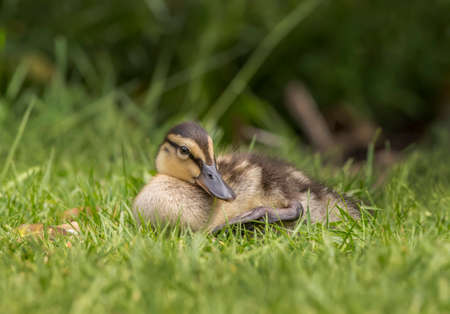 grass close up: Mallard duckling on the grass, close up