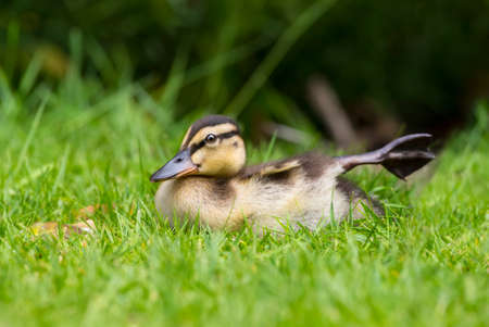 grass close up: Mallard duckling on the grass, close up, stretching