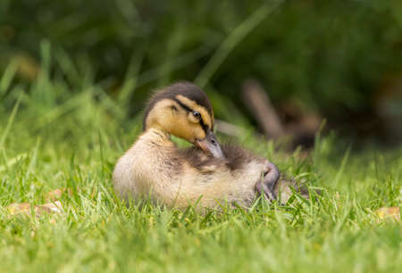 grass close up: Mallard duckling on the grass, close up, preening itself