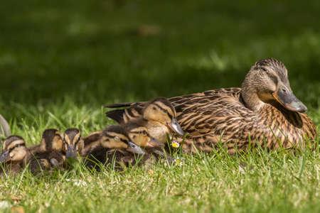 Mallard family, on the grass, close up